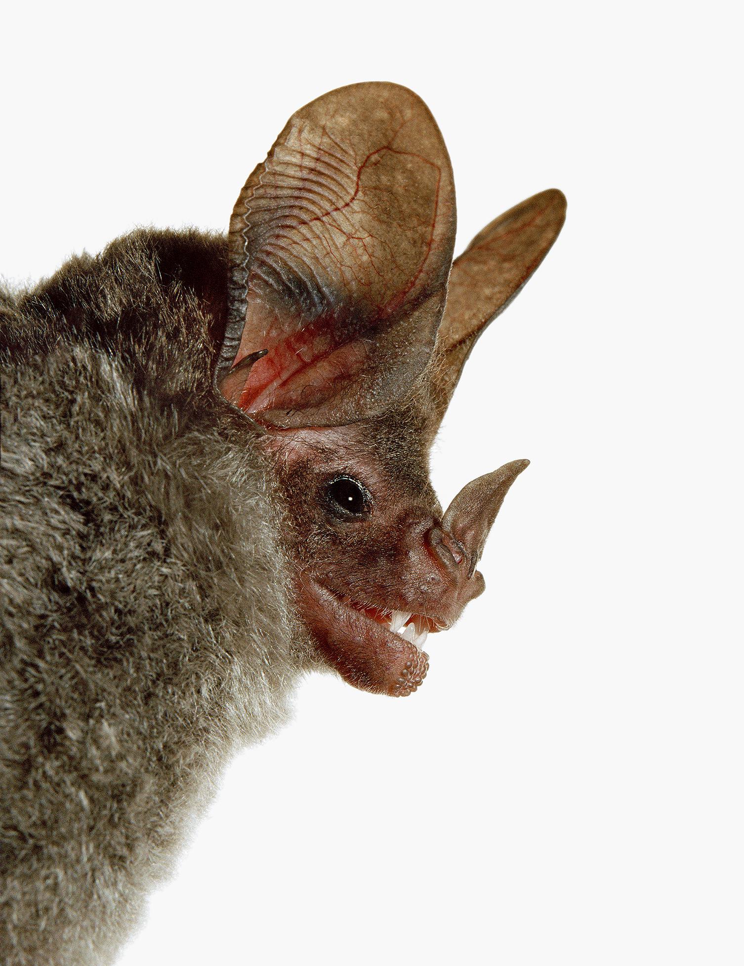 Chrotopterus-auritusFG