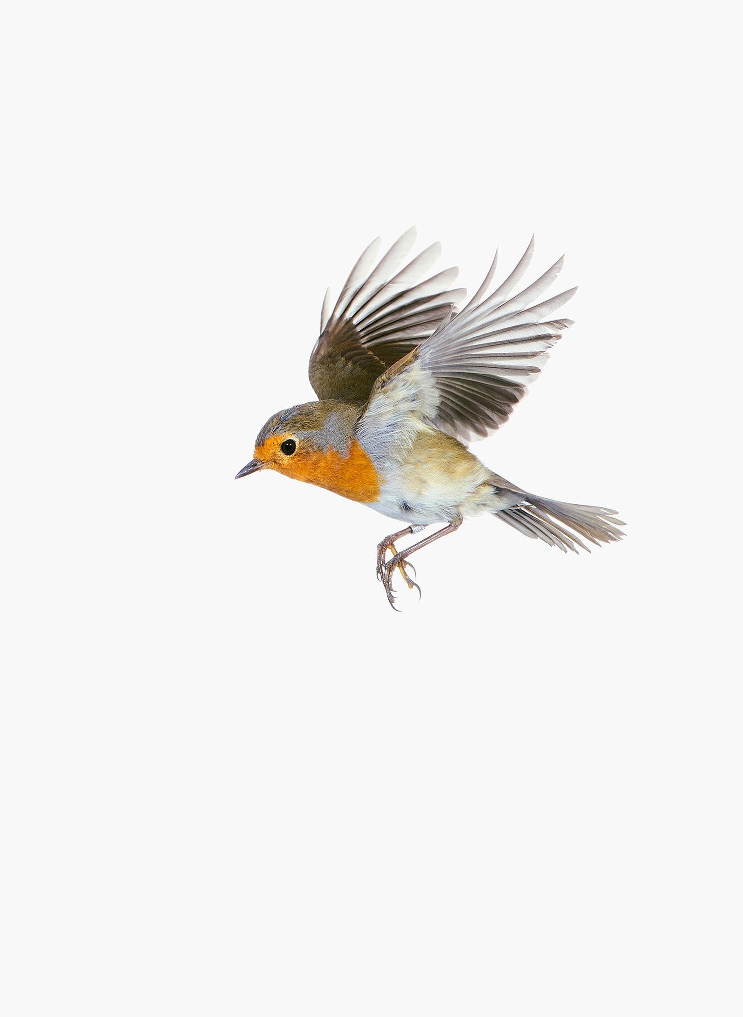 Erithacus_rubecula-in-flight