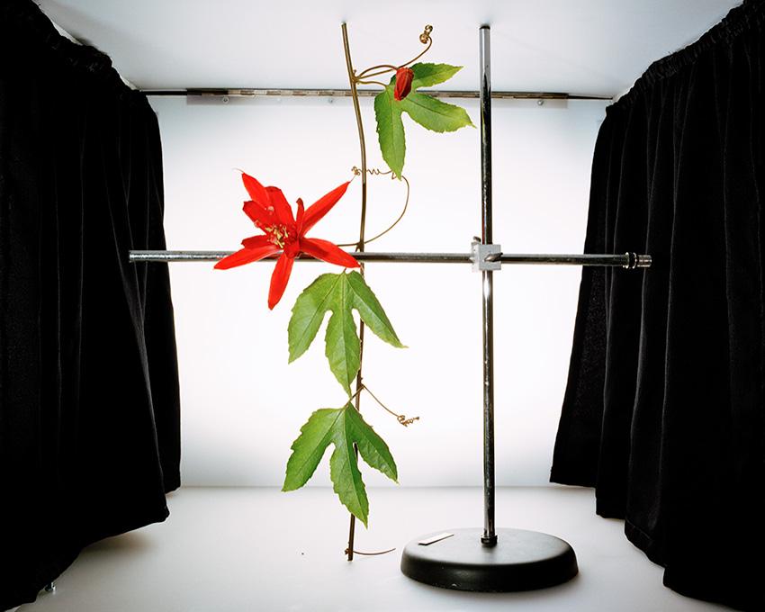 passiflora_vitifolia