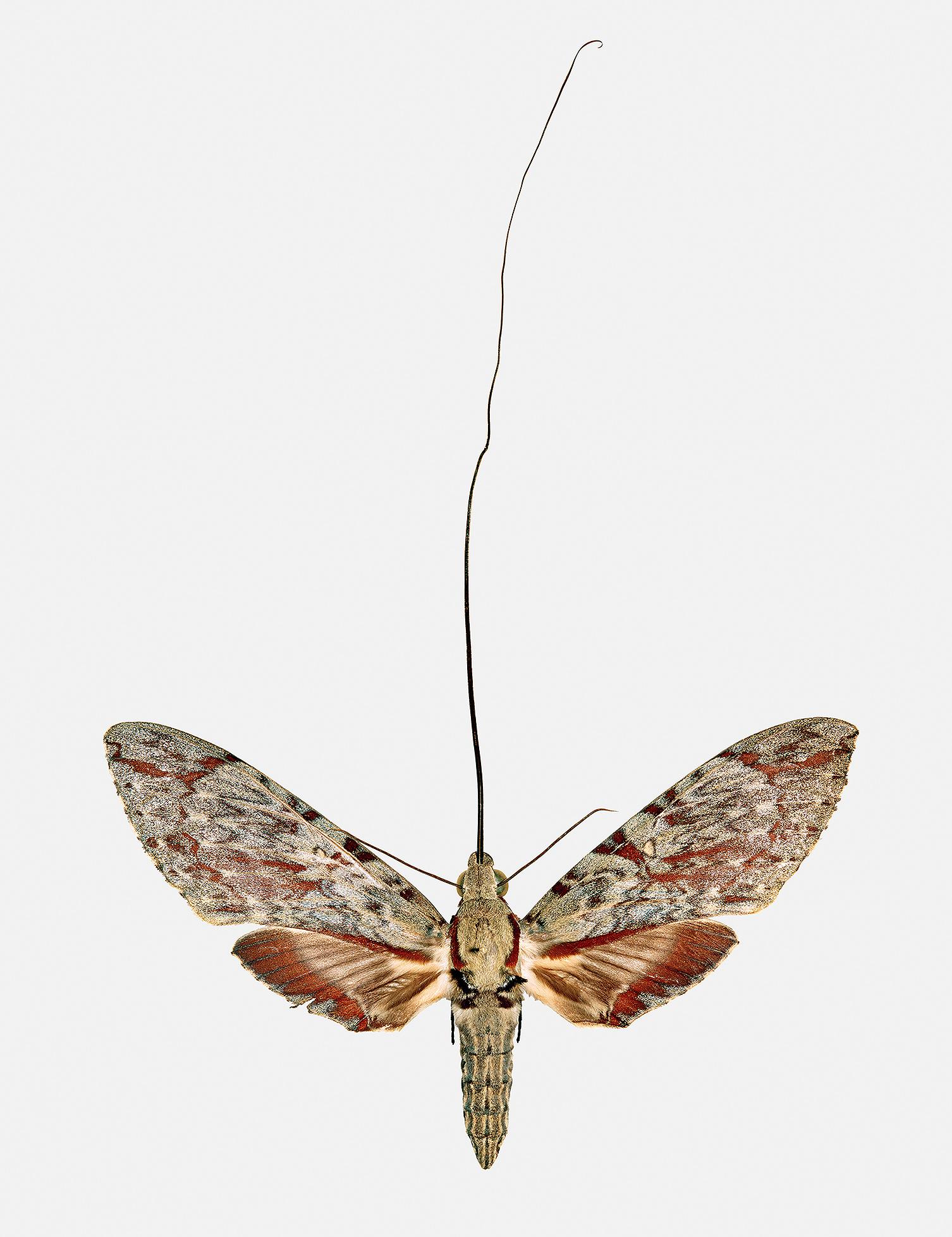 Hawk_Moth
